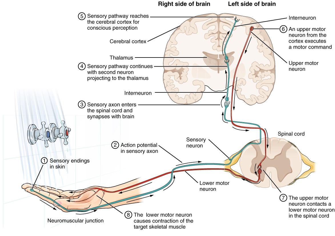 Graph Nerves Back