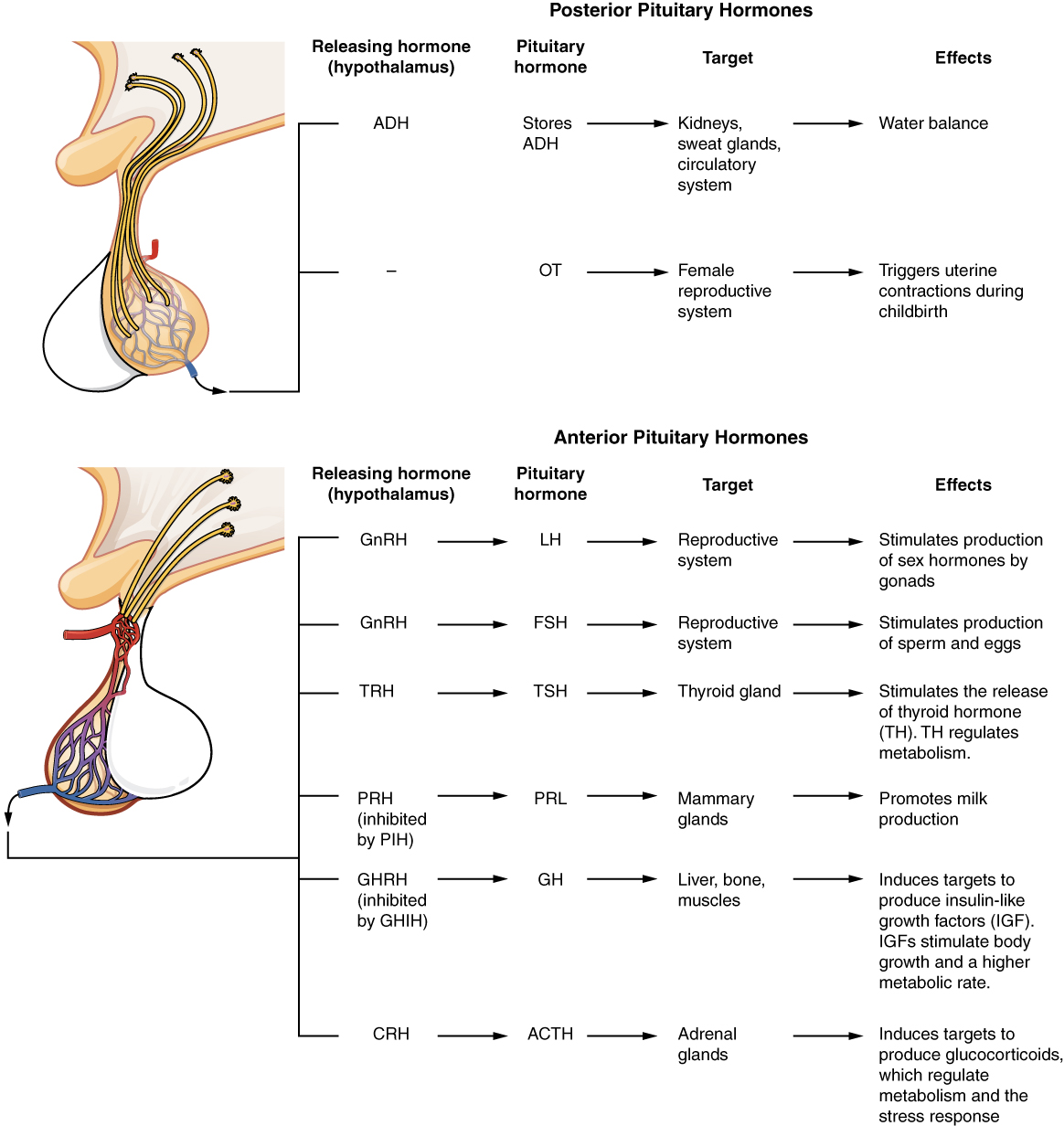 17 3 The Pituitary Gland And Hypothalamus Anatomy And
