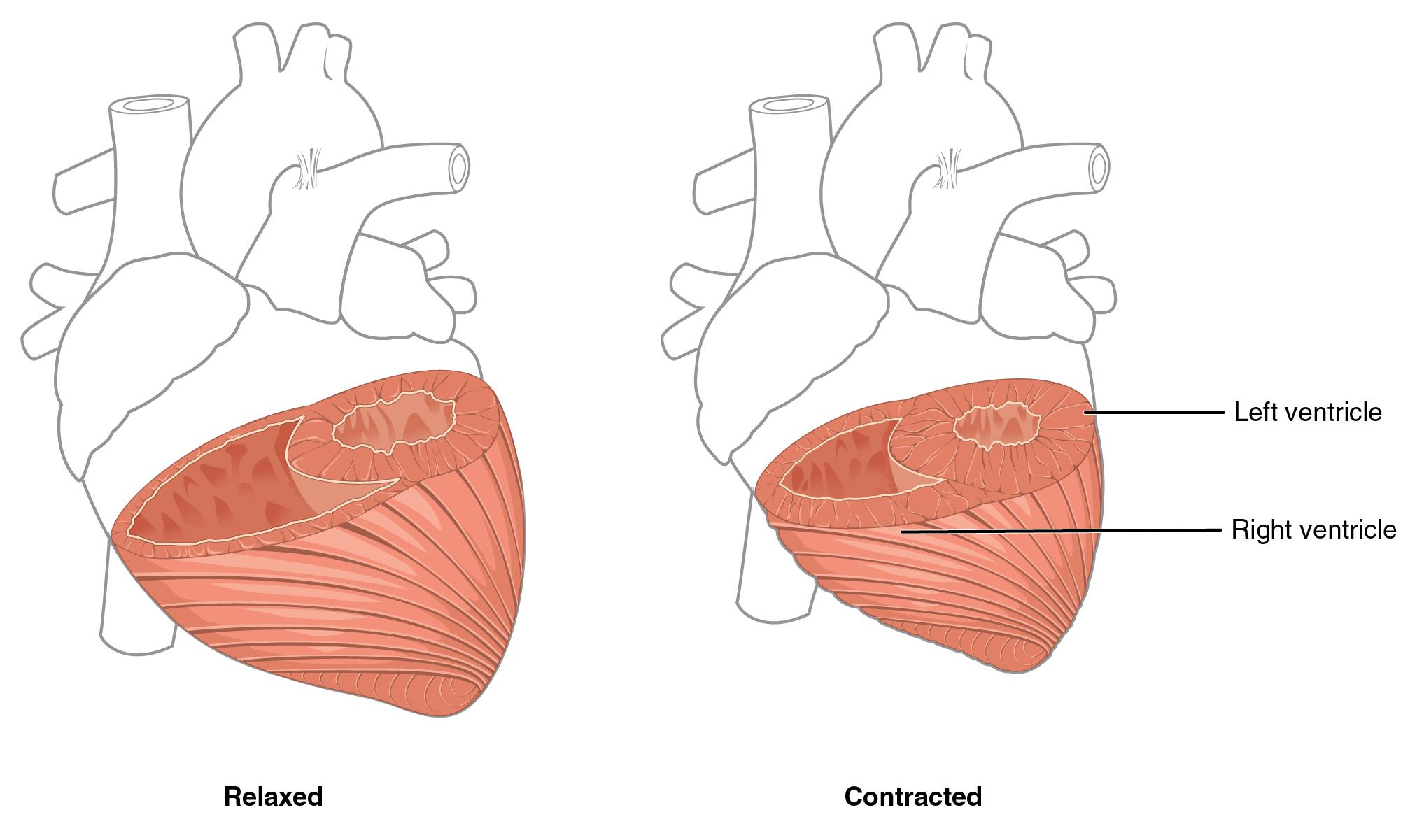 19 1 Heart Anatomy Anatomy And Physiology