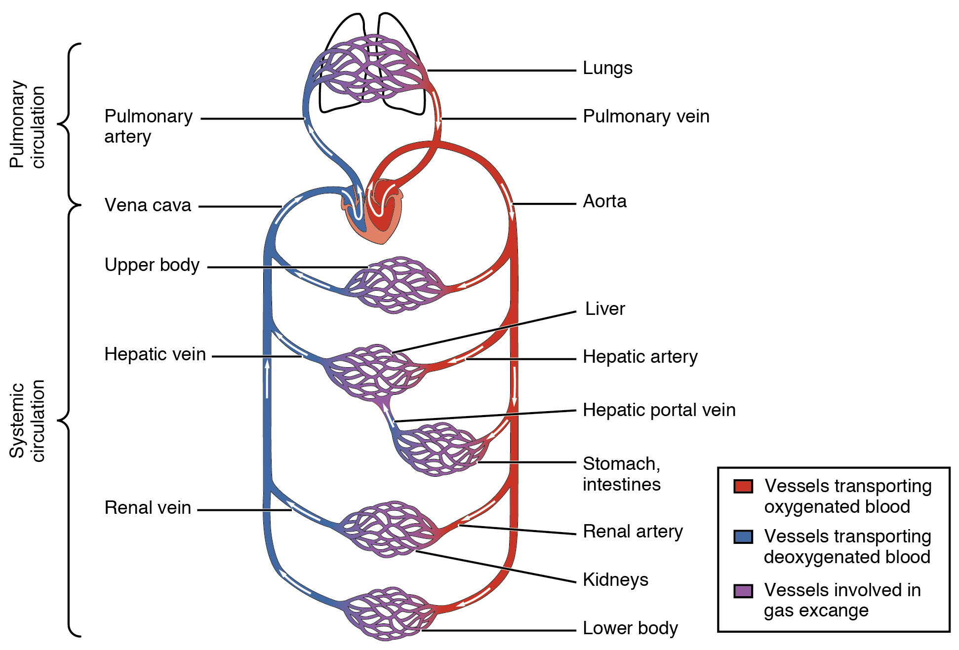 20 1 Structure And Function Of Blood Vessels Anatomy And