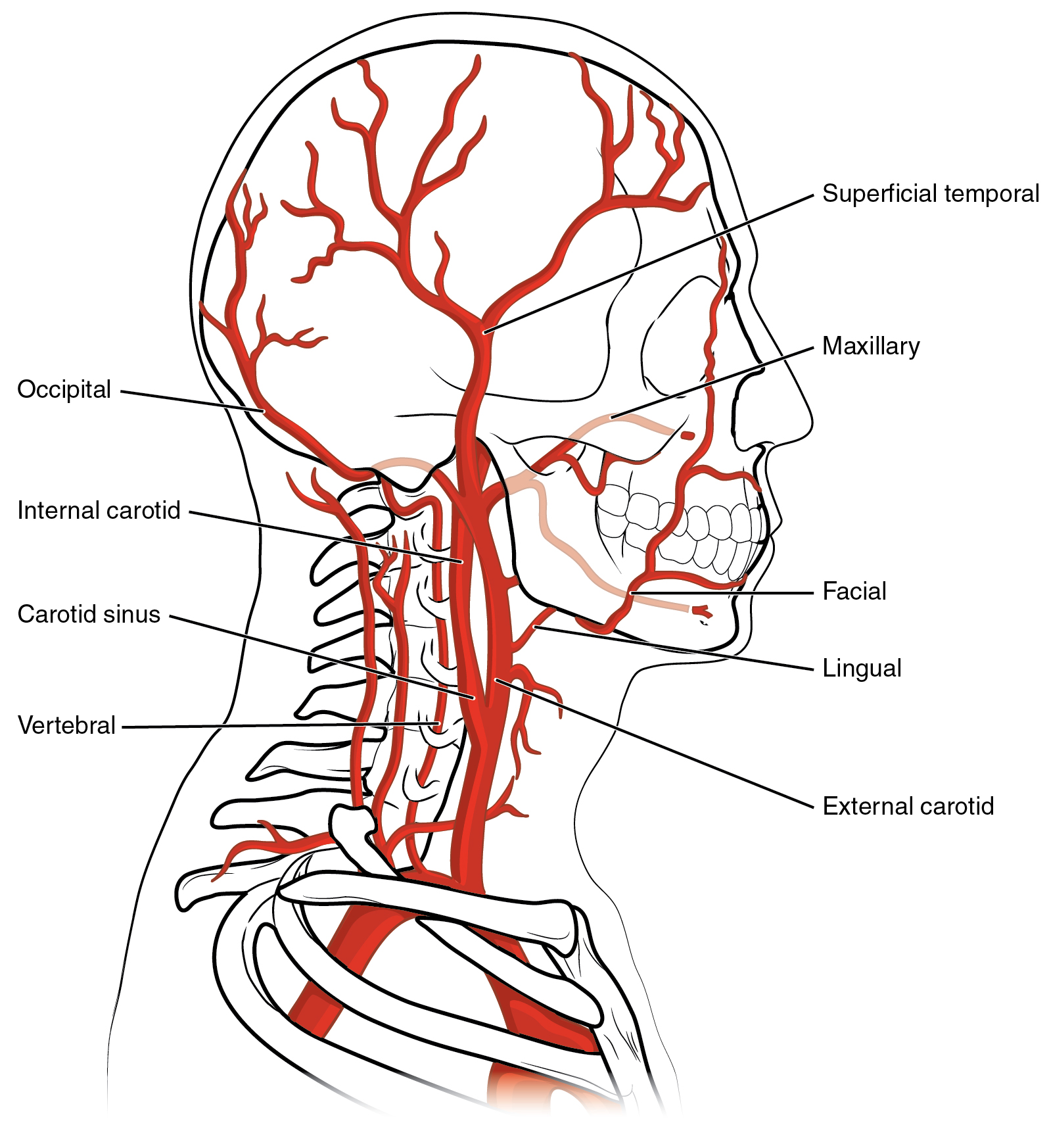 Carotid Diagram Worksheet