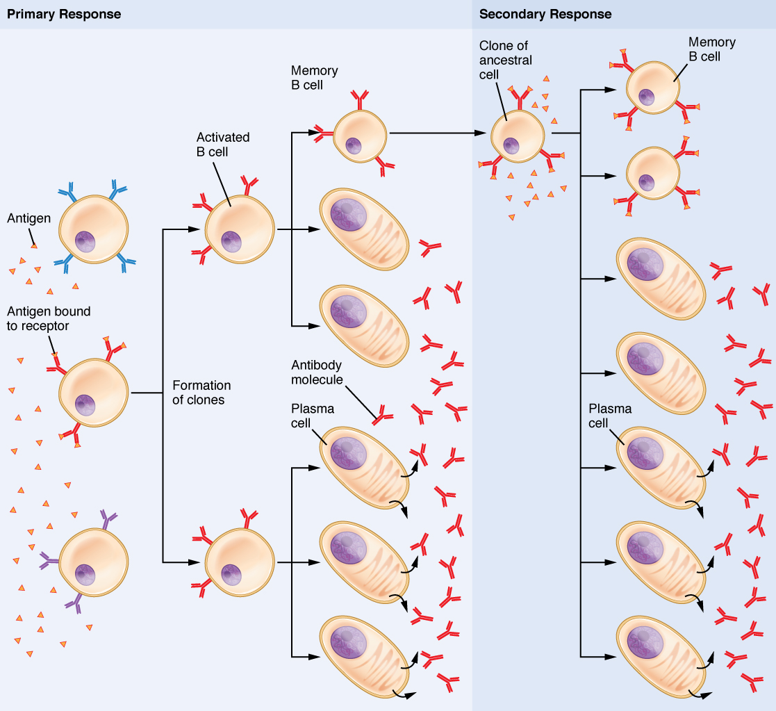 21 4 The Adaptive Immune Response B Lymphocytes And