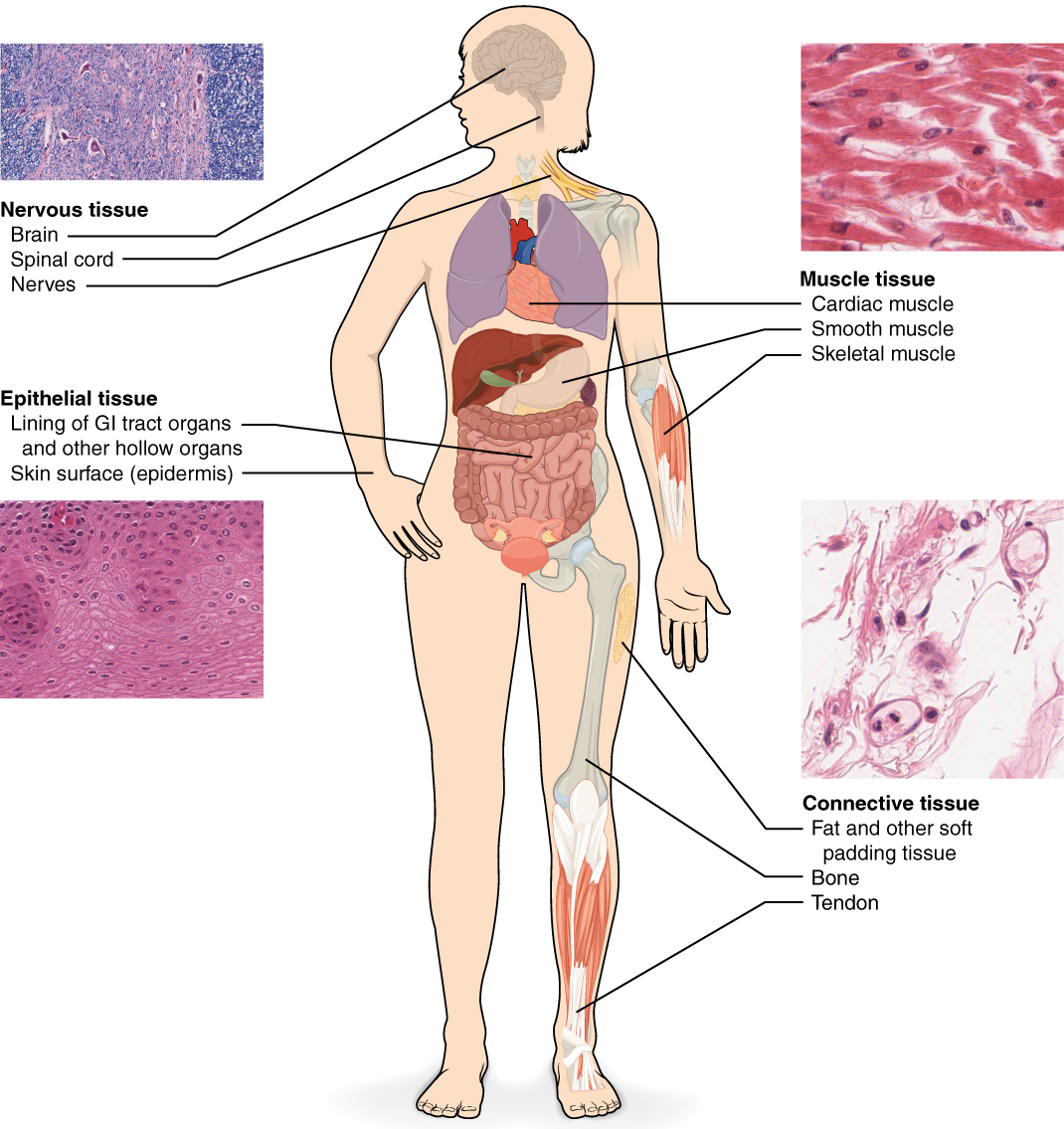4 1 Types Of Tissues Anatomy And Physiology