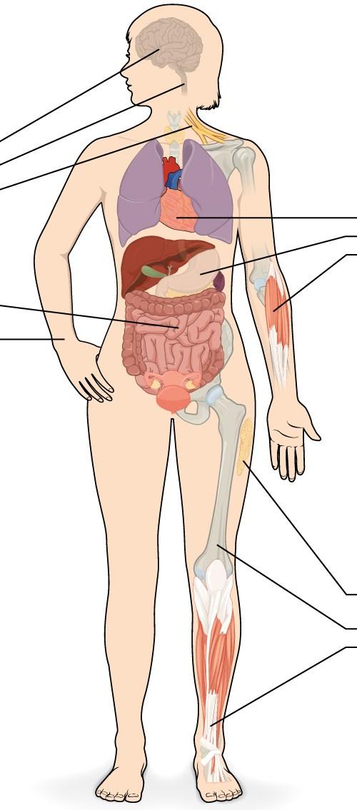 El tejido del cuerpo humano ¿En que consiste el tejido?