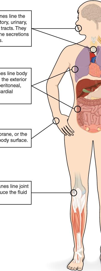 413 Types of Membranes - Tejido del cuerpo humano ¿En que consiste el tejido?