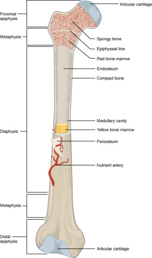 63 Bone Structure – Anatomy and Physiology