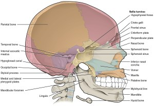 72 The Skull – Anatomy and Physiology