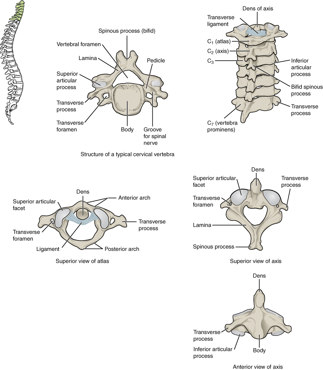 7 3 The Vertebral Column Anatomy And Physiology