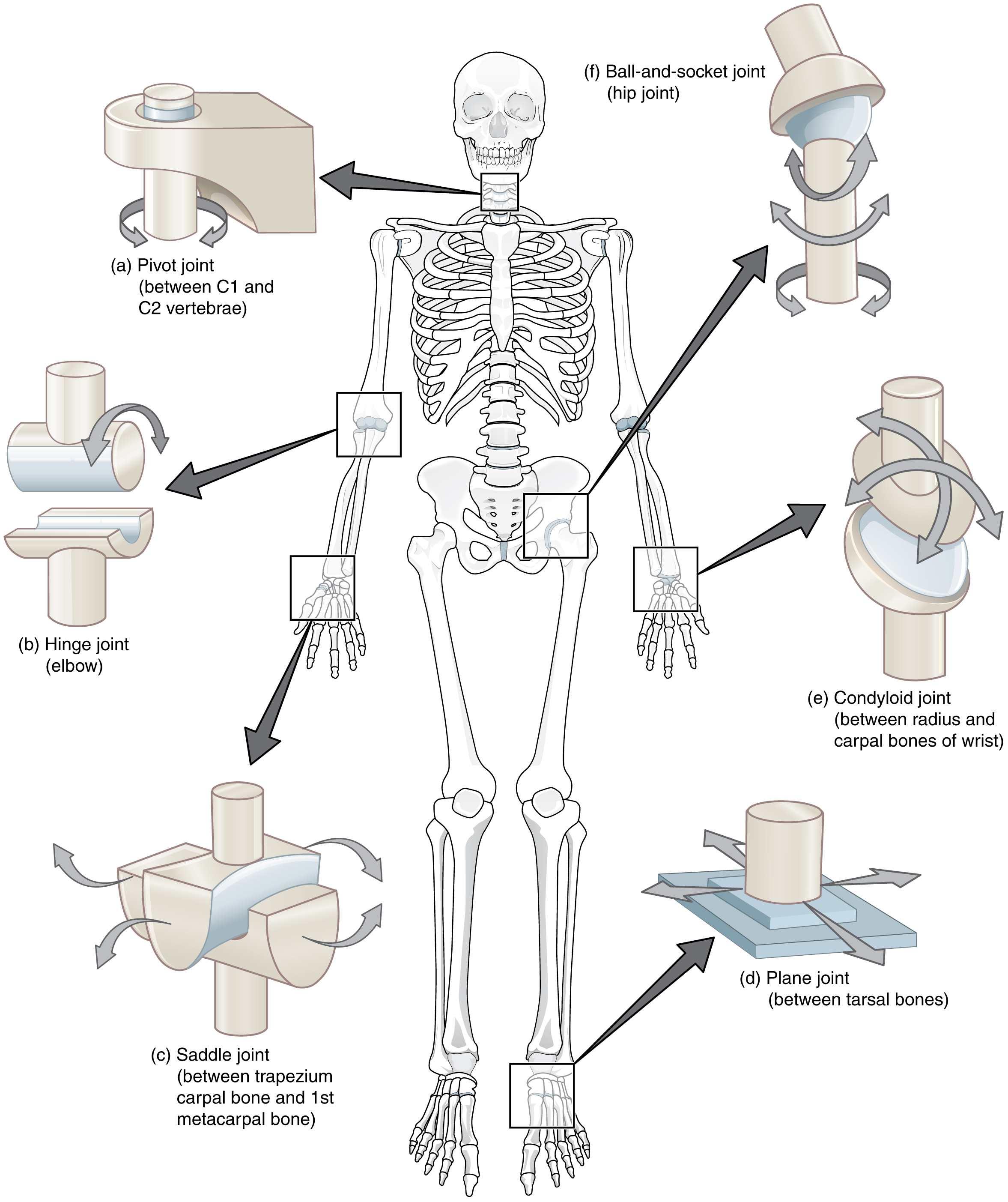 9 4 Synovial Joints Anatomy And Physiology