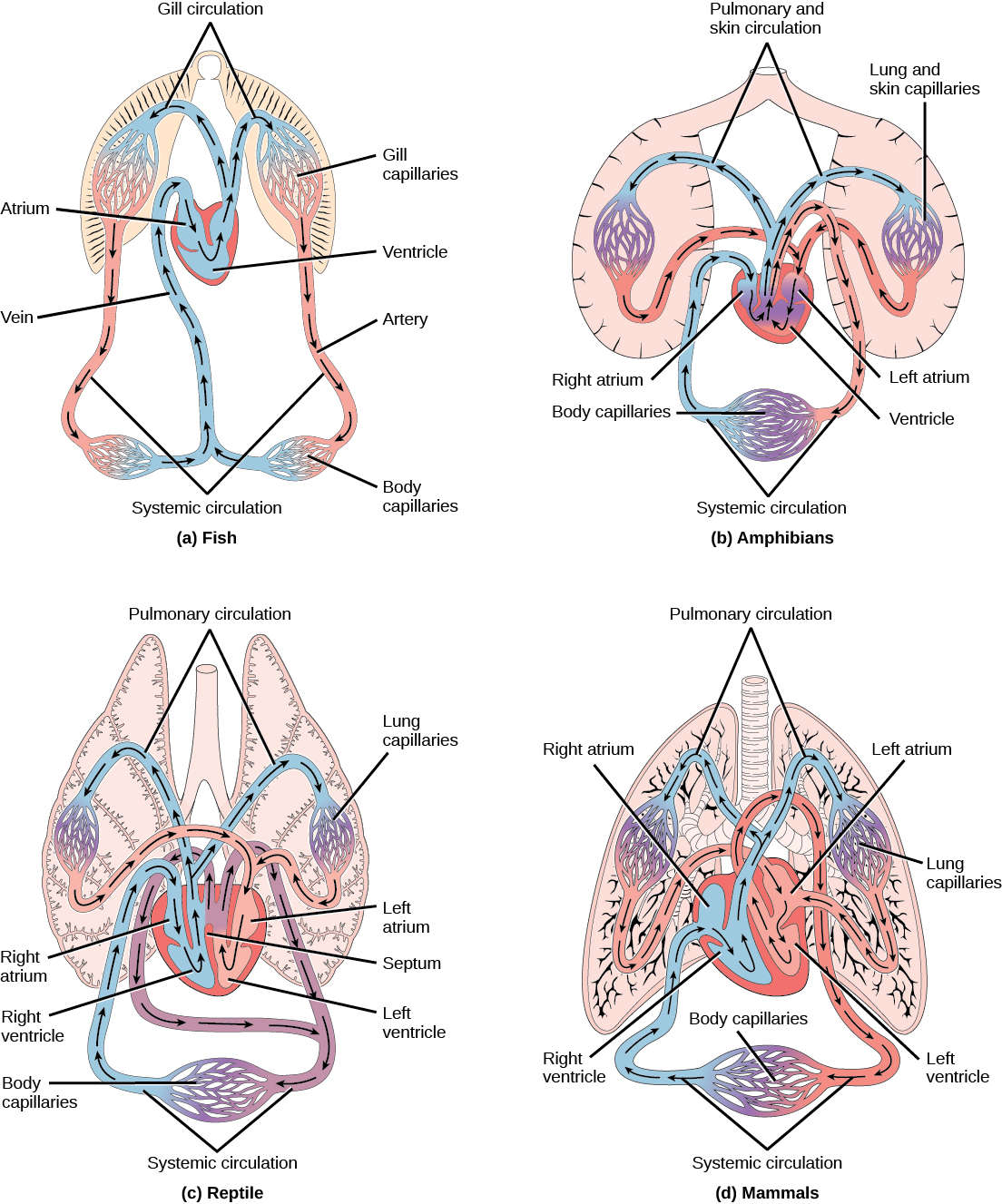 21 1 Overview Of The Circulatory System Concepts Of