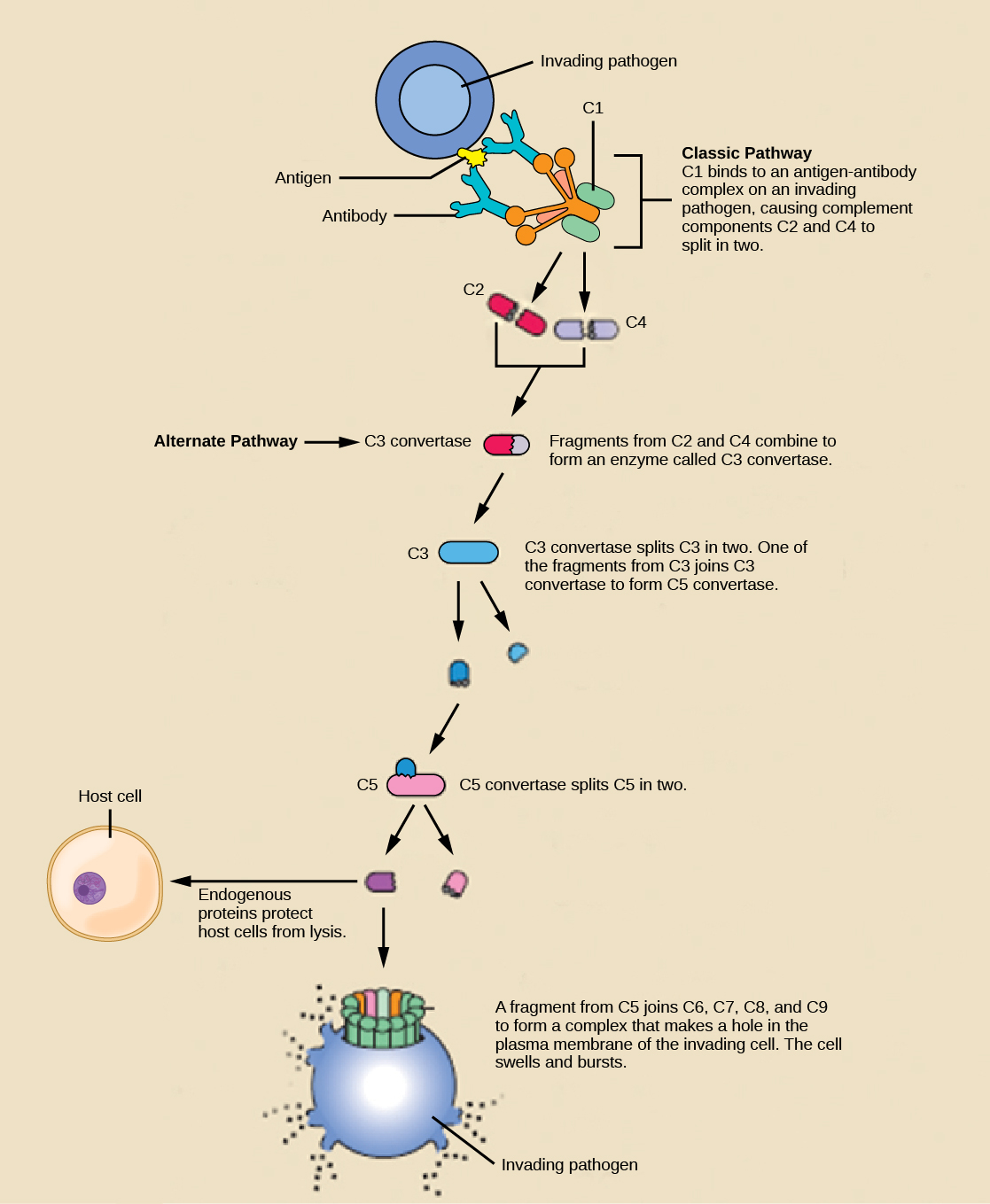 23 1 Innate Immune Response Concepts Of Biology 1st