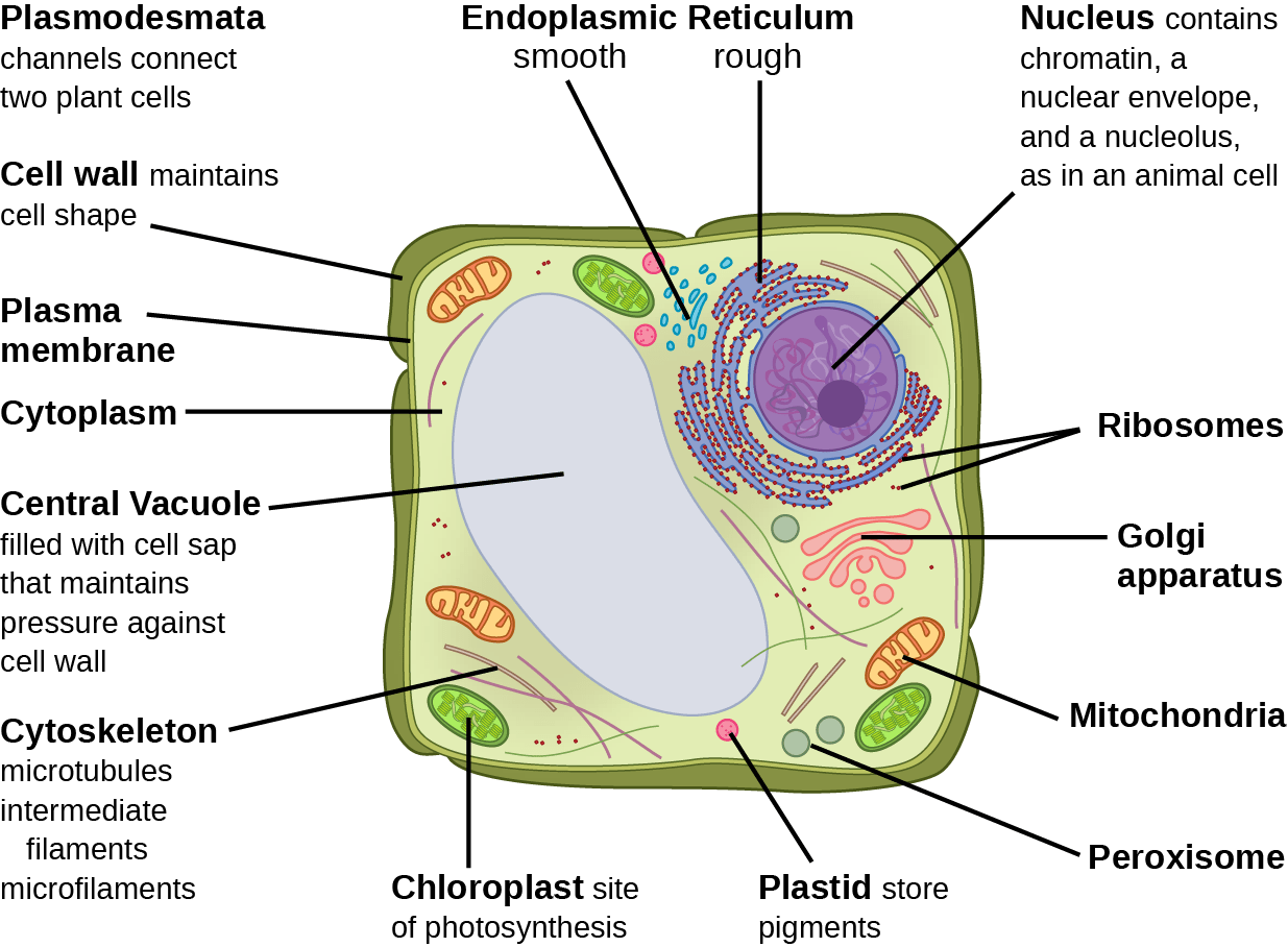 Labeled Picture Of Animal Cell And Plant Cell