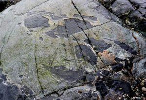 Figura 3.19 xenolitos de roca mafic en granito, Victoria, BC Los fragmentos de roca oscura se han roto y se incorporan en el granito de color claro. [SE]
