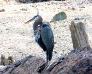 Heron with Top Feathers