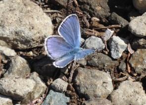 blue butterfly luminex
