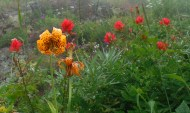Tiger lillies on Sauk Mountain