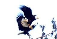 Eagles in Skagit County, WA. Photo by Karen Molenaar Terrell.