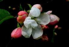 Apple Blossoms Low Midtones