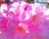 pink rhododendron 2