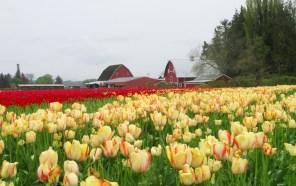 red barn and tulips this one