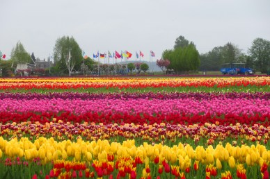 tulips and flags this one