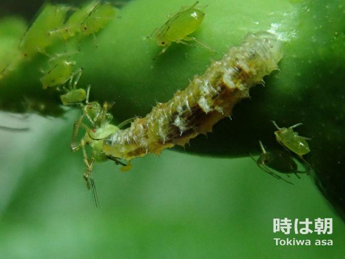 ヒラタアブの幼虫 2019年5月9日