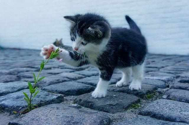 Chaton jouant avec une herbe.