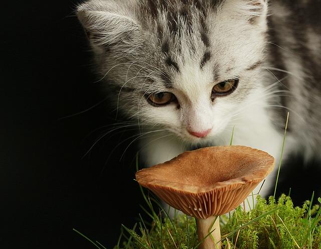 Chaton reniflant un champignon.
