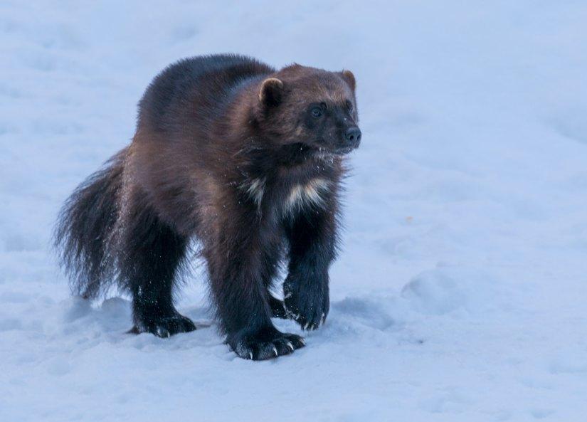 """Photo d'un carcajou en train de marcher dans la neige.  Aussi appelé """"glouton"""", le carcajou est un mammifère qui ressemble un peu à un blaireau."""