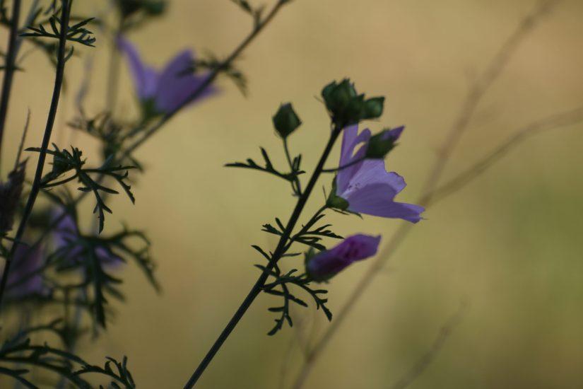 Photo d'unne fleur mauve, prise sur un bokeh (fond flou) jaune orangé.