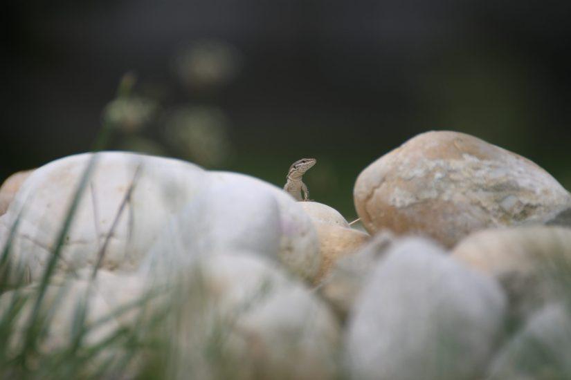 Photo d'un petit lézard, dressé entre 2 rochers.