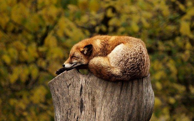 Photo d'un renard, endormi sur une souche d'arbre.