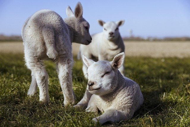 Photo de 3 agneaux, dont un en train de somnoler, allongé dans l'herbe.