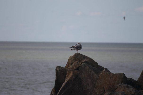 Photo de mouette perchée sur un pic rocheux au dessus de la mer.