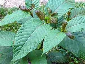 how to use kratom for opiate withdrawal