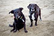Beach Dogs