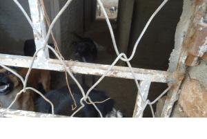 5-300x201 Cães são capturados e confinados em depósito precário no lixão de Monteiro