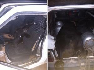 boi-300x225 No RN, homem furta boi e coloca o animal dentro de um Fiat Uno
