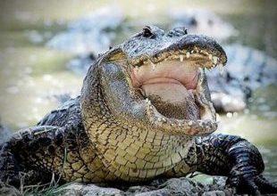 Crocodilo de 10 metros devora corpos de vítimas de criminosos no México 7