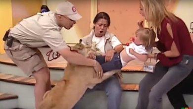 Leão pula em criança ao vivo em programa na TV. Assista 7