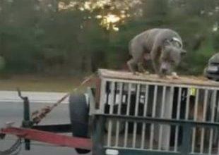 Cachorro é acorrentado sobre bagageiro de carro em alta velocidade 5