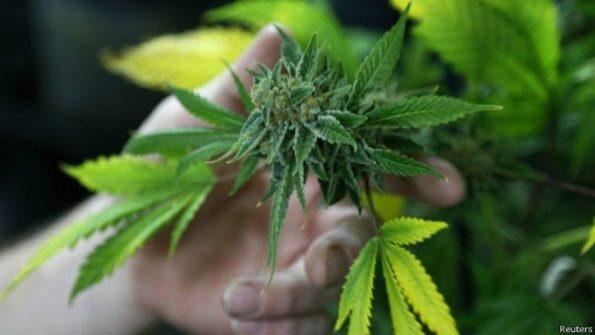 cannabis-800x450 Justiça libera cultivação de maconha para uso medicinal em João Pessoa