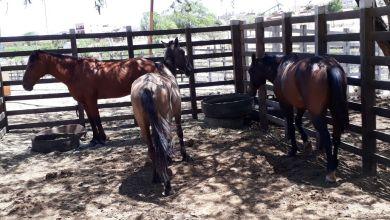 Secretaria de Agricultura intensifica apreensão de animais em Monteiro 3