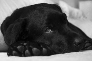 cachorro-doente-curiosamente-pesquisa-labrador-ligada-ao-fum-300x199-300x199 Animais de donos fumantes podem ter vida mais curta