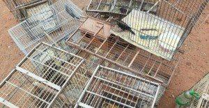 Gaiola-2-300x156 Ibama e PM apreendem 4 mil animais silvestres