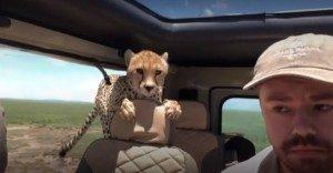 guepardo-2-300x156-300x156 Guepardo invade carro e assusta turistas em safári