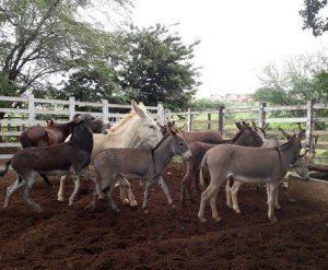 animais_apreendidos_-300x247-300x247 Secretaria de Agricultura de Monteiro intensifica apreensão de animais nas ruas