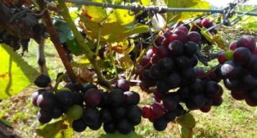 Produção-de-uva-orgânica-no-Câmpus-IV-3-1 Projeto garante produção de uvas em alto padrão no Sertão da Paraíba