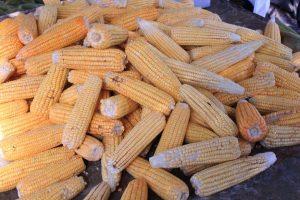 milho_walla_santos3-300x200 Às vésperas do São João, preço da mão de milho chega a R$ 40 na Capital