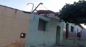 t-1-300x165 Cabra sobe em telhados de casas e só desce com ajuda de bombeiros, no Sertão